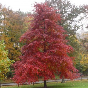 Black gum have excellent fall color and do not produce gum balls.